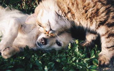En katt kelar med en Golden Retriever valp